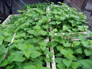 Chữa mụn nhọt bằng lá cây quanh vườn vừa an toàn lại hiệu quả -1