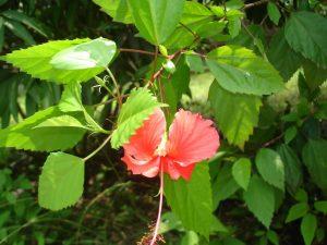 Chữa mụn nhọt bằng lá cây quanh vườn vừa an toàn lại hiệu quả -2
