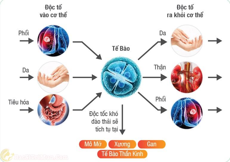 Sự tích tụ độc tố trong cơ thể làm xuất hiện mụn