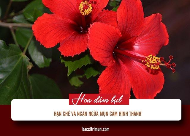 cách trị mụn cám bằng phương pháp tự nhiên từ hoa dâm bụt