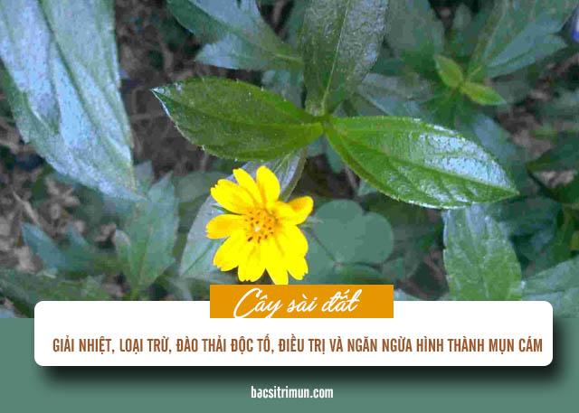 cách trị mụn cám bằng phương pháp tự nhiên cây sài đất