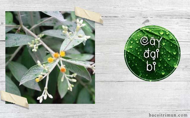 cây đại bi là một thảo dược trị mụn